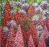 Pom Poms and Lupins - Alison Cowan